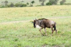 A wildbeast moving in Savanna grassland. The wildebeest are also called as Gnu, these are even-hooved (ungulate) mammal Royalty Free Stock Photo