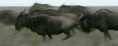 Wildbeast Running -  Tanzania, Africa Royalty Free Stock Image