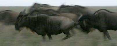 Wildbeast Running -  Tanzania, Africa. Wildbeast  - Serengeti Wildlife Conservation Area, Safari, Tanzania, East Africa Royalty Free Stock Image