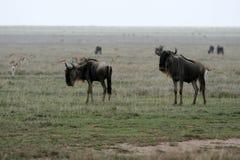 Wildbeast - Serengeti Safari, Tanzania, Africa. Wildbeast  - Serengeti Wildlife Conservation Area, Safari, Tanzania, East Africa Stock Image