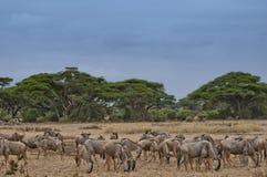 Wildbeasts in kenya. Amboseli Nation Park Royalty Free Stock Image