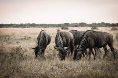 Wildbeest博茨瓦纳 免版税图库摄影