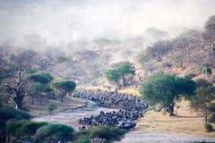 Wildbeest που διασχίζει τον ποταμό στο εθνικό πάρκο Τανζανία Tarangire στοκ φωτογραφίες