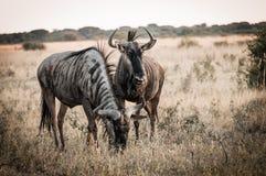 Wildbeest Botswana Fotografering för Bildbyråer