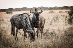 Wildbeest Botswana stock image