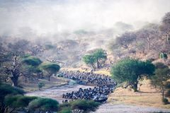 Wildbeest crossing river in Tarangire National park Tanzania stock photos