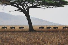 Wildbeest flyttning i Serengeti royaltyfri bild