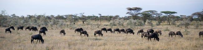 Wildbeest flyttning i Serengeti fotografering för bildbyråer