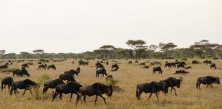 Wildbeest flyttning i Serengeti arkivbilder