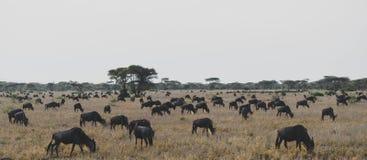 Wildbeest flyttning i Serengeti royaltyfria bilder