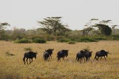 Wildbeest flyttning i Serengeti arkivfoto