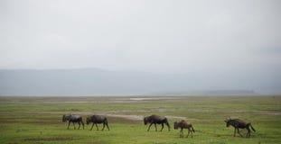 Wildbeest flyttning i Serengeti royaltyfri foto