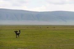 Wildbeest flyttning i Serengeti arkivbild