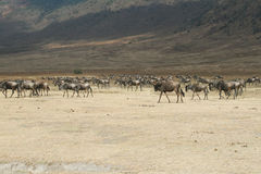 Wildbeest group. A big group of wildbeests inside the ngorongoro national park in tanzania Royalty Free Stock Images