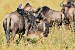 Wildbeest i naturlivsmiljön under stor flyttning i masaien Mara Arkivfoton