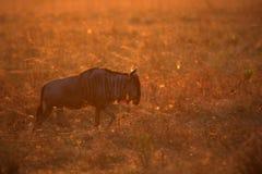 Wildbeest i naturlivsmiljön under stor flyttning i masaien Mara Royaltyfri Fotografi