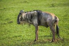 Wildbeest in the Maasai Mara national park (Kenya) Stock Photo