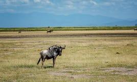 Wildbeest in Masai Mara reserve in Kenya, Africa Stock Photos