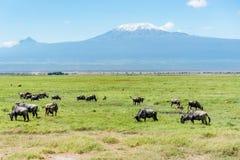 Wildbeest in Masai Mara reserve in Kenya with Kilimangaro mount Royalty Free Stock Photos