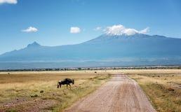 Wildbeest in Masai Mara reserve in Kenya with Kilimangaro mount Stock Image