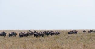 Wildbeest migracja w Serengeti Zdjęcie Stock