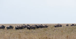 Wildbeest migration in Serengeti Stock Photo