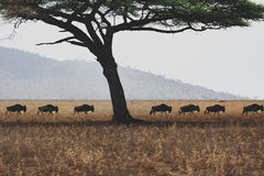Wildbeest migration in Serengeti Royalty Free Stock Image