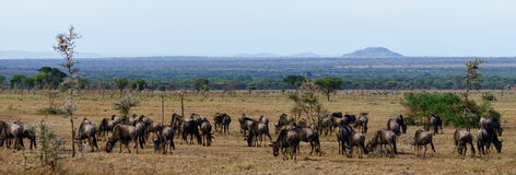 Wildbeest migration in Serengeti Royalty Free Stock Images