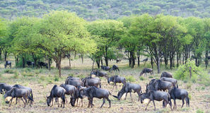 Wildbeest migration in Serengeti Stock Photography