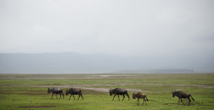 Wildbeest migration in Serengeti Royalty Free Stock Photo