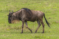 Wildbeest Portraits Stock Images