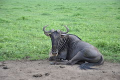 Wildbeest relaxing in Ngorogoro Crater. Blue wildebeest relaxing in Ngorogoro Crater, Tanzania, Africa Royalty Free Stock Photo