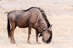 Wildbeest. Grazing in Namibia`s Etosha National Park Royalty Free Stock Images
