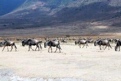 Wildbeests ngorongoro. Many wildbeests inside the ngorongoro crater in tanzania Stock Image