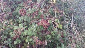 Wildberries 图库摄影