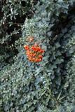 Wildberries from European rowan / Sorbus aucuparia Stock Photography