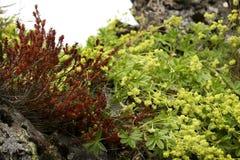 Wildberry куст Стоковые Фото