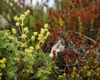 Wildberry Busch stockfoto