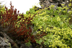 Wildberry bush. Es on moss and rock Stock Photos