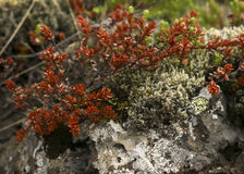 Wildberry bush. Es on moss and rock Royalty Free Stock Photos