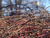 Wildberry dans la forêt images stock