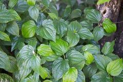 Wildbetal草本的Leafbush和医学 库存图片