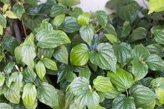 Wildbetal Leafbush di erbe e medicina Fotografia Stock Libera da Diritti