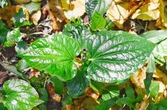 Wildbetal leafbush eller pipblåsaresarmentosumroxb Arkivfoton