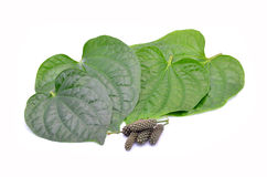 Wildbetal Leafbush Green Leafbush. Royalty Free Stock Photography