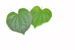 Wildbetal Leafbush Green Leafbush. Stock Images