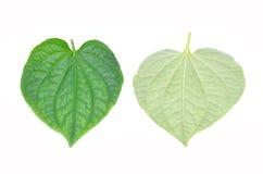 Wildbetal Leafbush Green Leafbush. Royalty Free Stock Photo