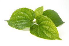 Wildbetal Leafbush Herbal  and medicin Stock Images