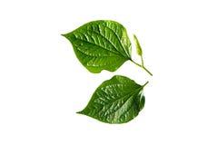 Wildbetal Leafbush (Piper sarmentosum) Stock Photo