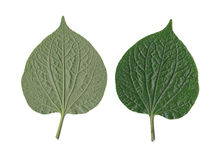 Wildbetal leafbush or piper sarmentosum. Royalty Free Stock Photos